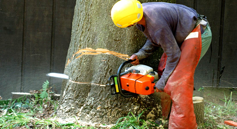 Tree service worker.  A wedge cut is made near the base of the tree trunk  to control the direction of its fall.